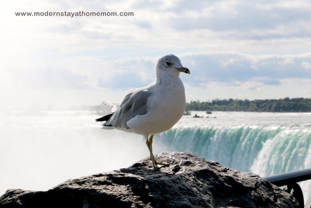 Seagull with Niagarar Falls in the background